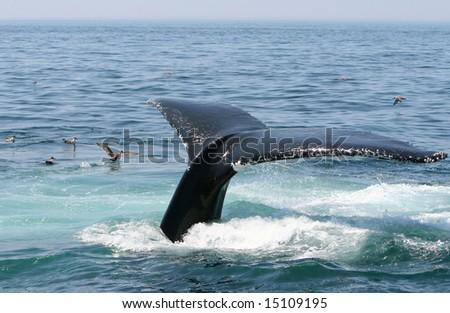 A humpback whale dives off the coast of Cape Cod.