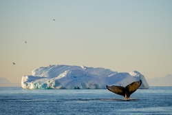 A humpback whale engages in solo bubble net feeding and a flock of Antarctic terns fly over an iceberg at sunset