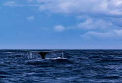 A Humpback Whale in Amamioshima
