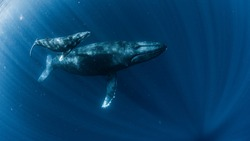 A Humpback Whale in Okinawa