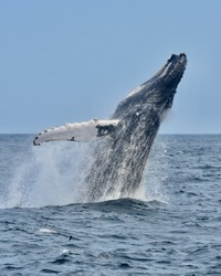 A humpback whale jumps out of the ocean in a spectacular breaching display.  (Megaptera novaeangliae)  Copy space. Great South Channel, Atlantic Ocean.