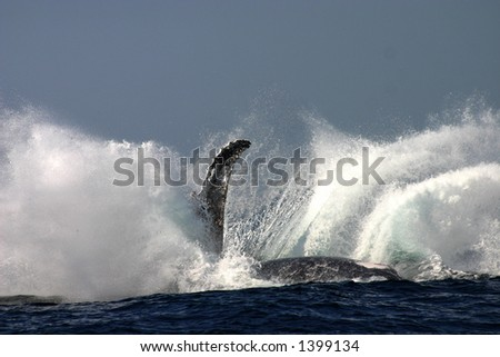 A humpback whale landing after breaching.