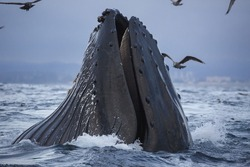 A humpback whale lunge feeds in Monterey Bay, California.