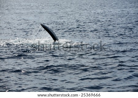 """a """"Humpback Whale"""" """"Megaptera novaeangliae"""" peck slaps the water as it enjoys life in the warm waters of Maui in the Hawaiian island chain"""