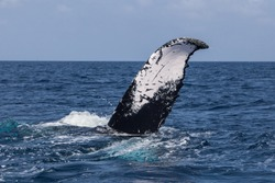 A Humpback whale (Megaptera novaeangliae) rolls, revealing its fluke, on the surface of the Atlantic Ocean. Many Atlantic Humpbacks feed in the nutrient-rich waters off New England and Newfoundland.