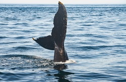 A humpback whale (megaptera novaeangliae) sticks its tail fluke out of the water. Copy space. Great South Channel, North Atlantic.