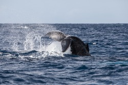 A Humpback whale (Megaptera novaeangliae) throws its powerful tail in the Atlantic Ocean. Many Atlantic Humpbacks feed in the nutrient-rich waters off New England and Newfoundland.