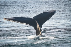 A humpback whale (megaptera novaeangliae) with its tail fluke out of the water. Copy space. Great South Channel, North Atlantic.