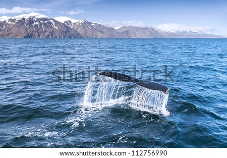 A humpback whale's tail in the ocean.