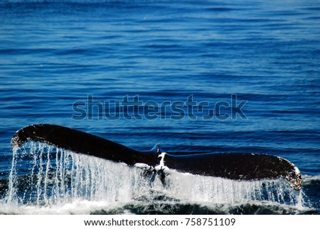 A Humpback Whale's Tail is the Last Sight Before Doing a Permanent Dive #758751109