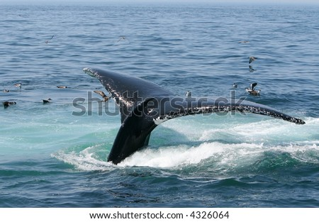 A Humpback Whale Tail Dives into the ocean off of Cape Cod. - stock photo
