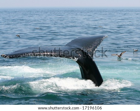 A humpback whale tail diving off of Provincetown Cape Cod.