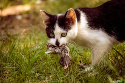 A hungry black and white house cat holding a dead mouse in its mouth- A dead mouse hanging out of the mouth of a house cat- A dead field mouse caught by a domesticated house cat
