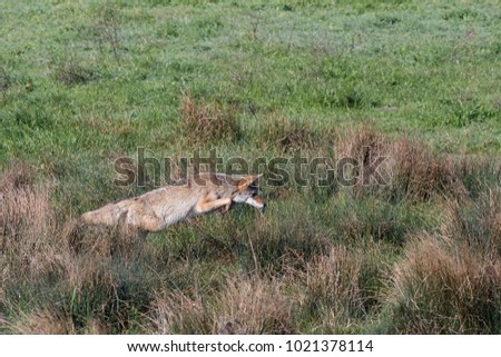 A hungry coyote pounces hoping to catch a rodent unawares in a grassy meadow in California.