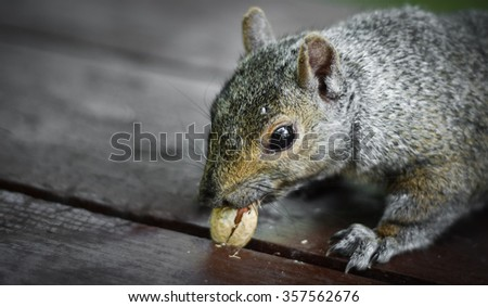 A hungry North American grey squirrel pulls on a peanut stuck in a crack.  Close up of park animals in Ottawa, Canada.