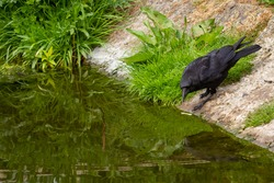 A hungry raven is busy washing a scavenged chicken bone in the river Lee, in Hackney, London