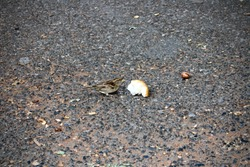 A hungry sparrow eating a bread crumb on a road in Central Park, New York City.