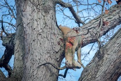 A hunted animal hangs from tree branches.