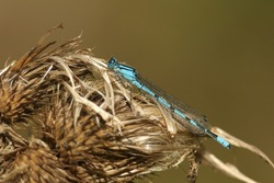 A hunting Common Blue Damselfly, Enallagma cyathigerum, resting on a thistle plant.