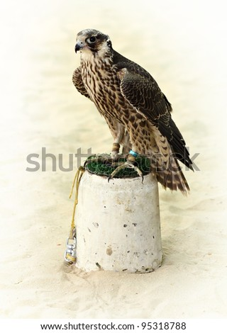 A hunting peregrine falcon shackled to its perch in Arabia.