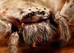 a huntsman spider up close
