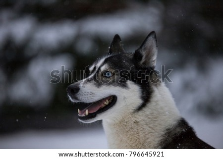 A husky in the snow looks to the left from the picture.