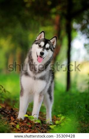 a husky look at me