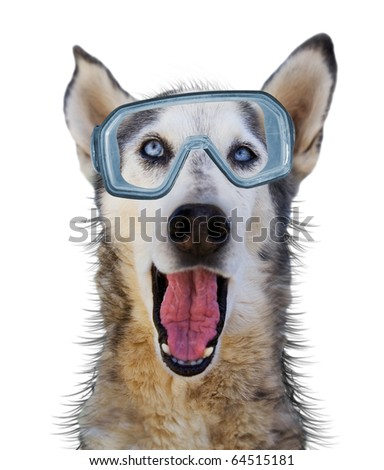 a husky wolf dog with scuba gear on