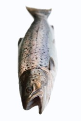 A hybrid of Atlantic salmon (Salmo salar) and Sea trout (Salmo trutta). Morphological features are mixed. Winter coloring smolt-type. Eastern Gulf of Finland, Baltic sea.