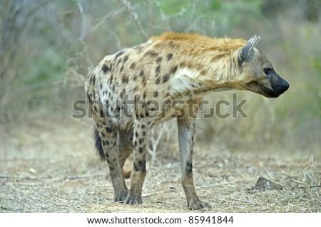 A Hyena approaches the den