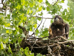 a immature bald eagle up in the nest waiting for it's mother to  come back to feed it some food in a large forest overlooking a river in a nature preserve in north America