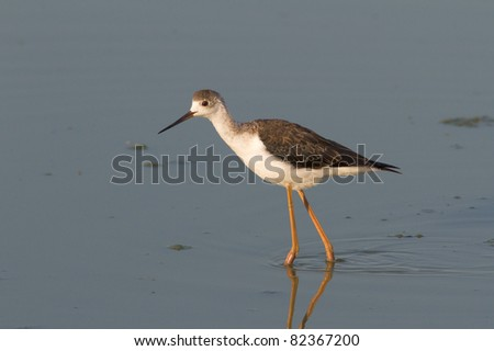 a immature of Black-winged Stilt walking through the swamp / Himantopus himantopus
