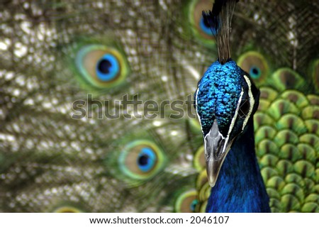 A Indian Blue Peafowl (Pavo Cristatus) with its feathers fanned in the background.