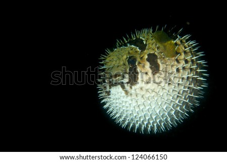 A inflated porcupine puffer balloon fish in the black background in Cebu Philippines