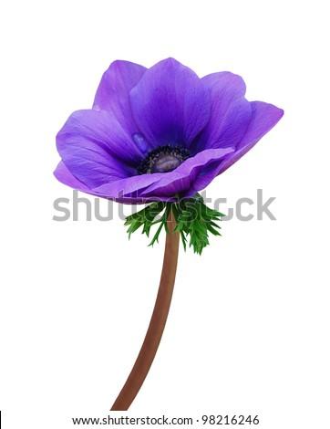 A isolated Coronaria flower - stock photo