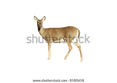 A isolated picture of a doe deer taken in a forest in Indiana