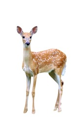 A isolated picture of a fawn deer taken at a forest in indiana