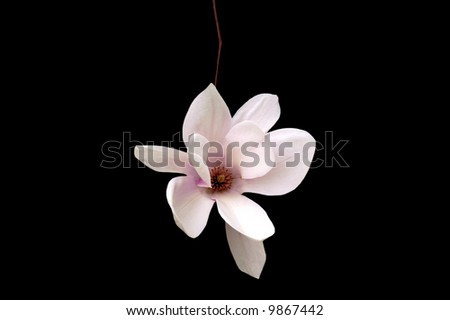 A isolated picture of a single magnolia blossom