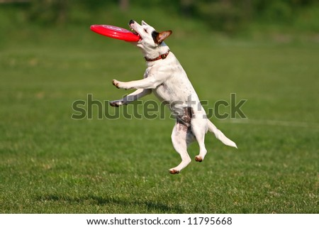 A jack russel terrier catching frisbee
