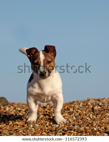 A Jack Russell Terrier puppy stands on a beach and looks straight at the camera.