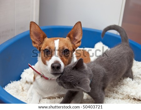 Jack Russell Terrier With Pointy Ears Looks Towards The