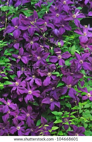 A Jackmanii Clematis completely covering a shepherds hook in a woodland garden.
