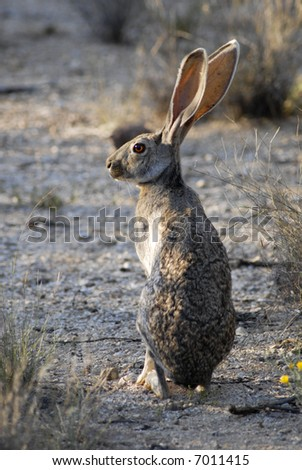 A jackrabbit in Saguaro National Park in Arizona