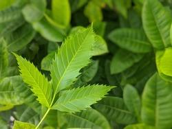A jagged leaf on a green leaf background