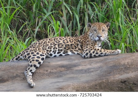 A Jaguar (Panthera Onca) rests on a log on the banks of the Tambopata River. Tambopata National Reserve, Madre de Dios, Peru #725703424