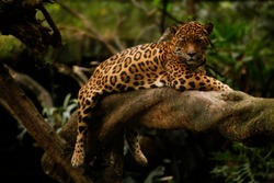 a jaguar (Panthera onca) rests on a tree