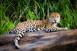 A Jaguar relaxes on a tree trunk on the banks of the Tambopata river, in the Peruvian Amazon
