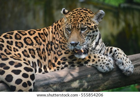 A Jaguar  rest on a tree branch in the Amazon rain forest. Iquitos, Peru #555854206