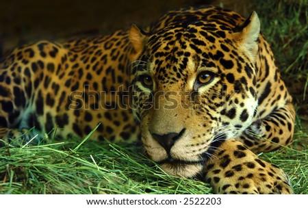 A Jaguar rests on grass