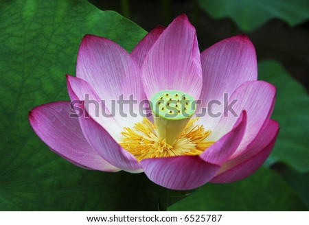A Japanese Lotus blossom.